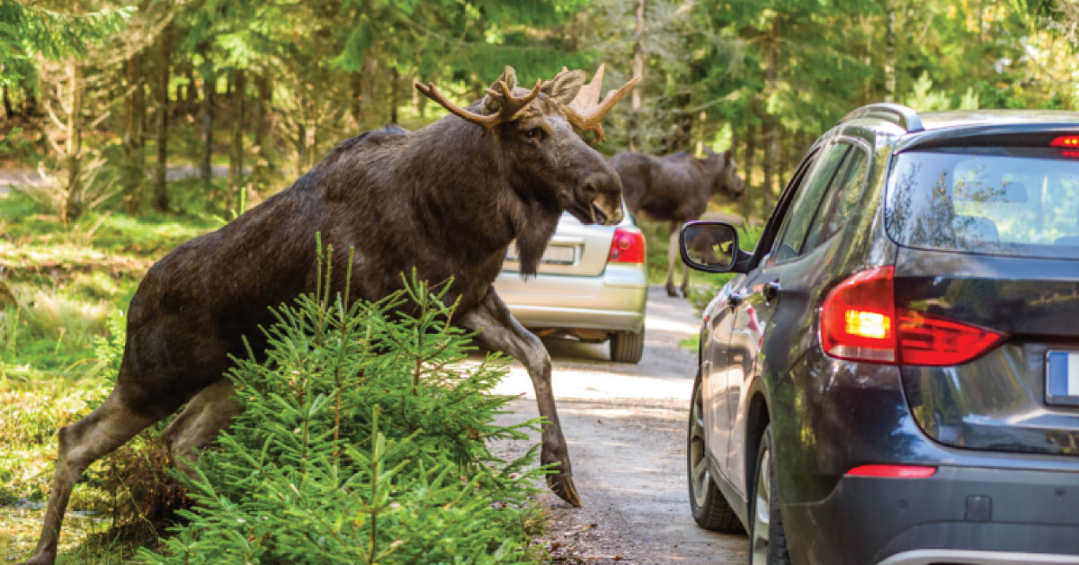 Watch out, deer and moose in sight!